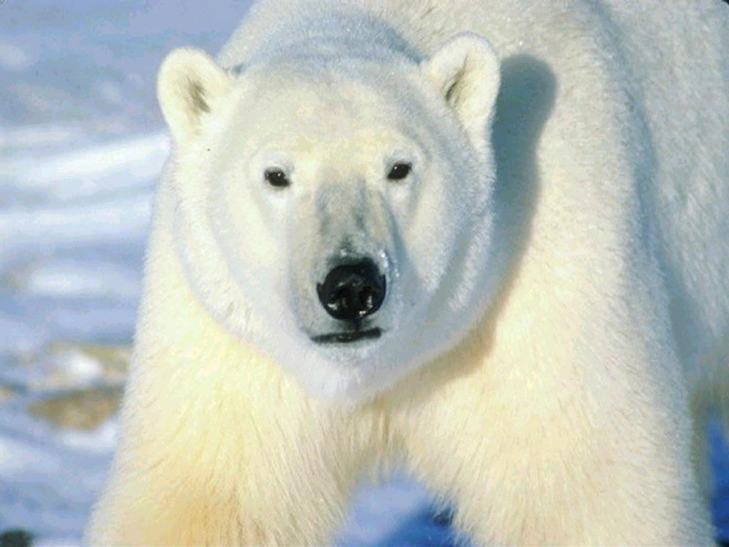 001 - zvířata - lední - polární medvěd