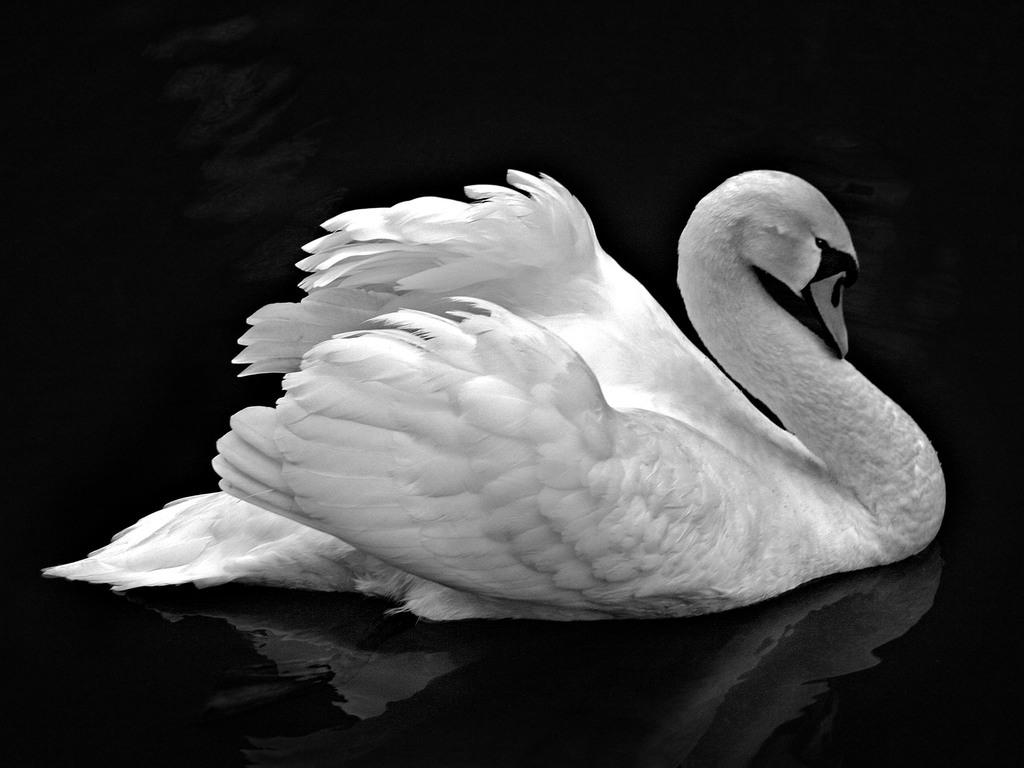001 ptáci - labutě - birds - swans