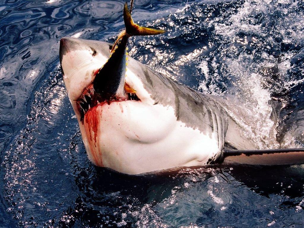 001 ryby - žralok