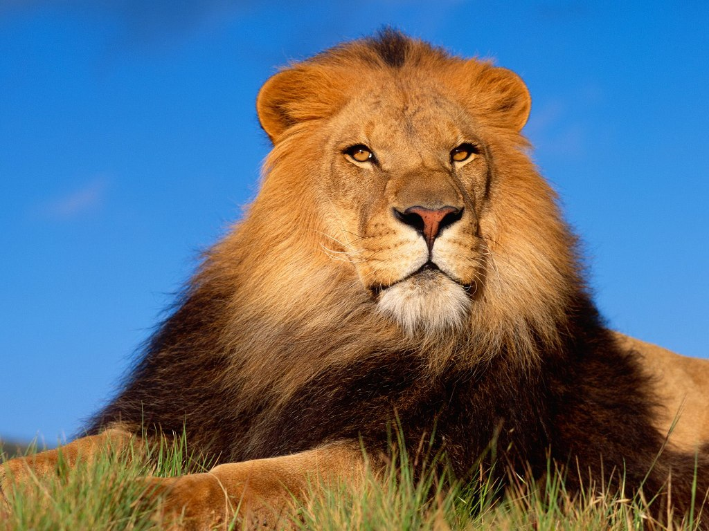 001 zvířata - lev