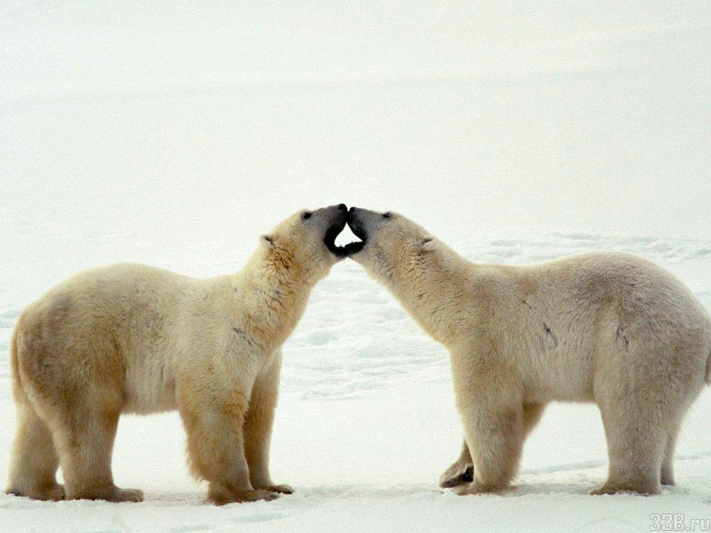 002 - zvířata - lední - polární medvěd