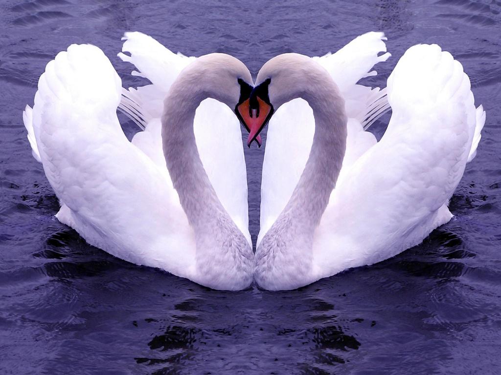 002 ptáci - labutě - birds - swans