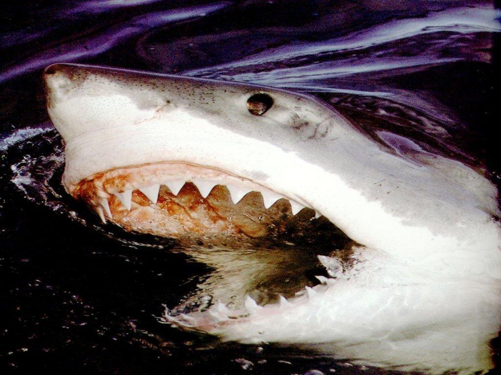 002 ryby - žralok