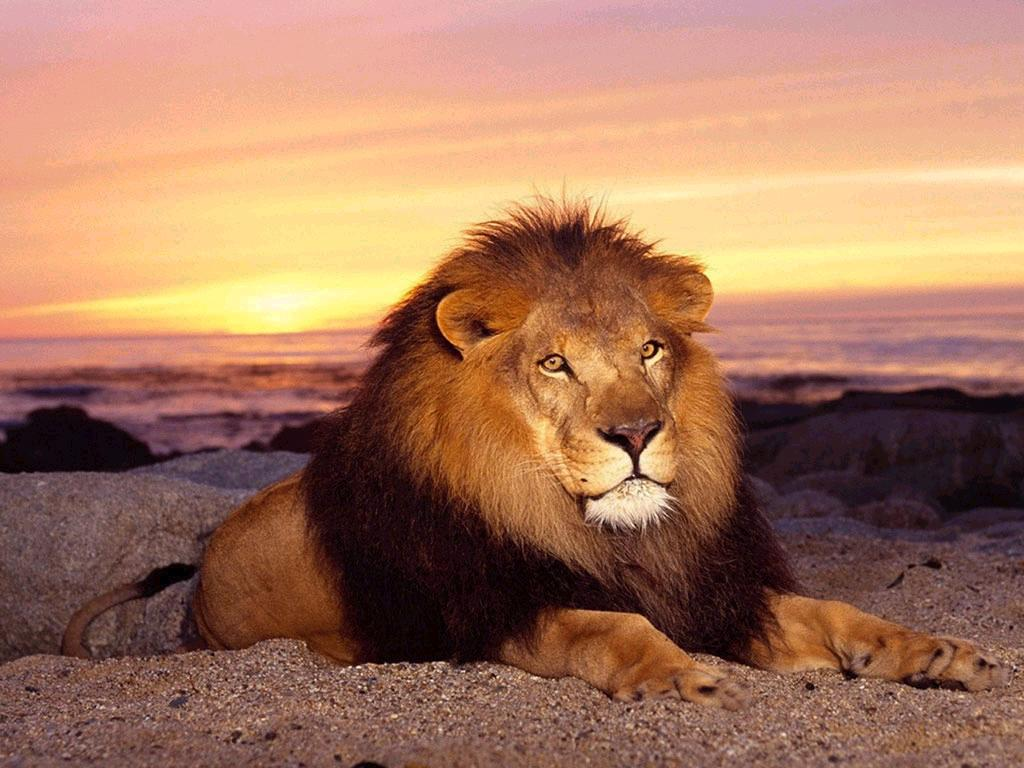 002 zvířata - lev