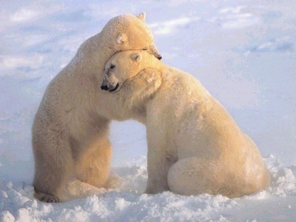 003 - zvířata - lední - polární medvěd