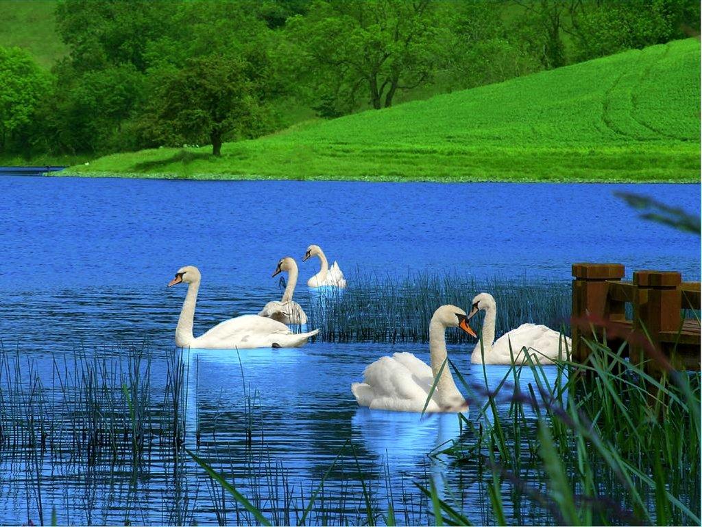003 ptáci - labutě - birds - swans