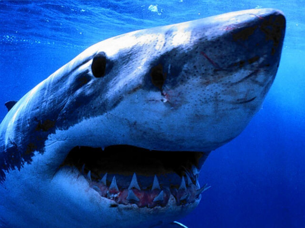 003 ryby - žralok