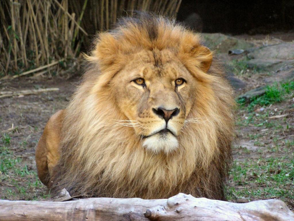 003 zvířata - lev