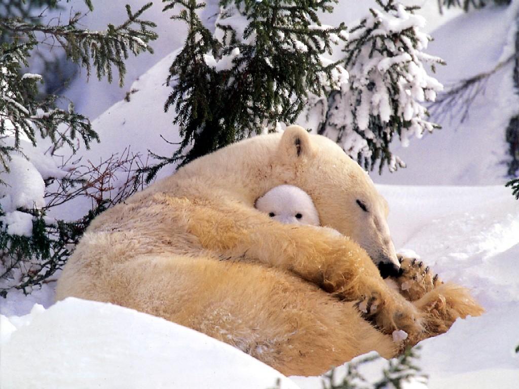 004 - zvířata - lední - polární medvěd