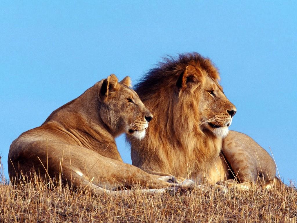 004 zvířata - lev - lvice
