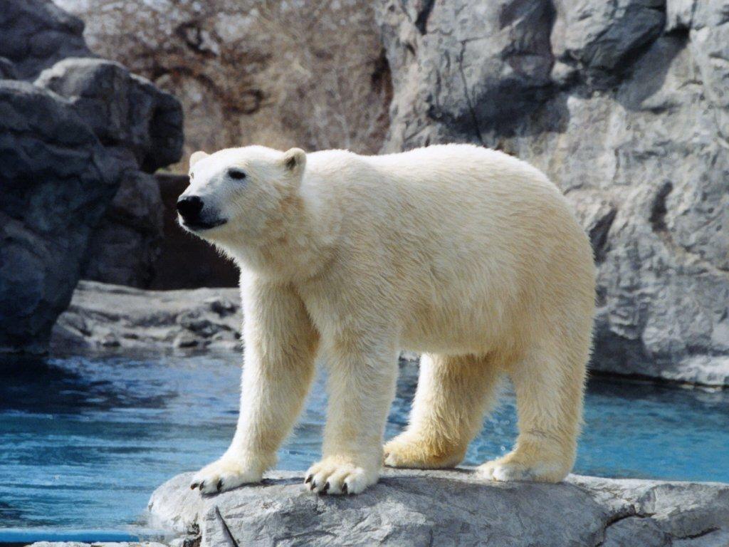 005 - zvířata - lední - polární medvěd