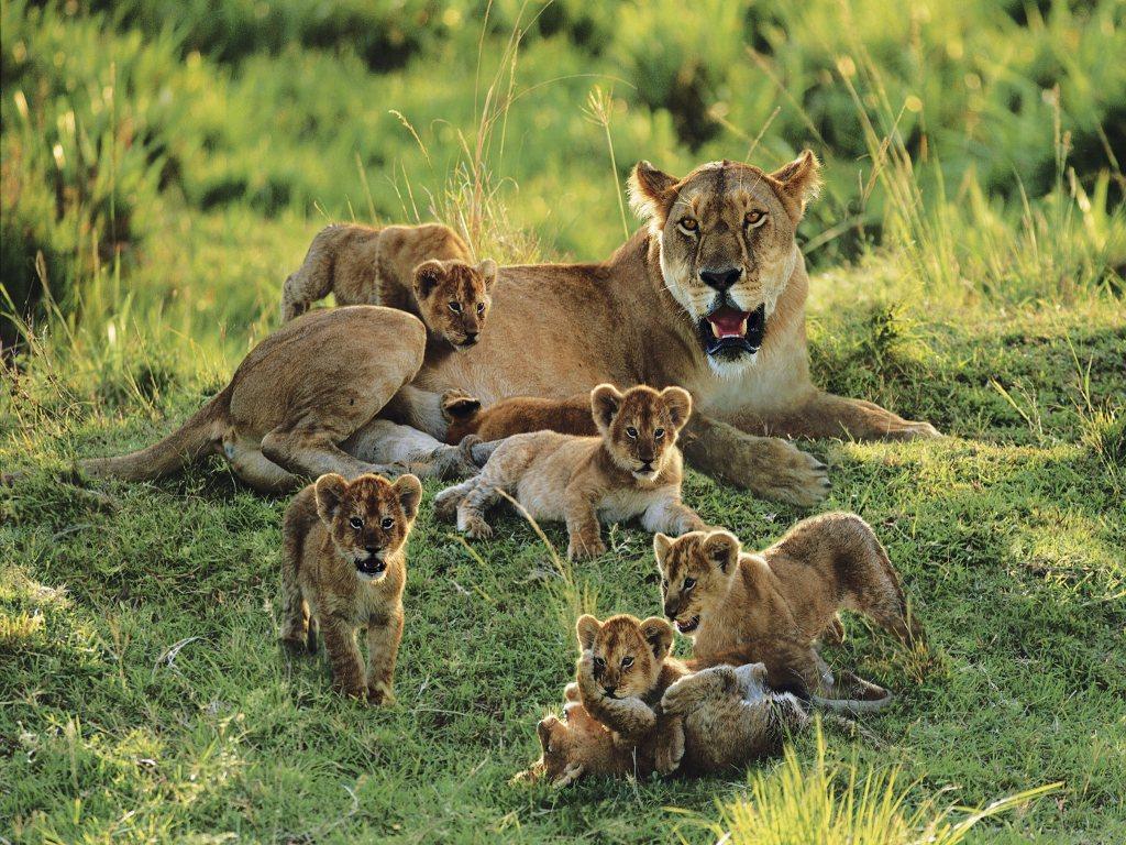 005 zvířata - lvice - lvíčata