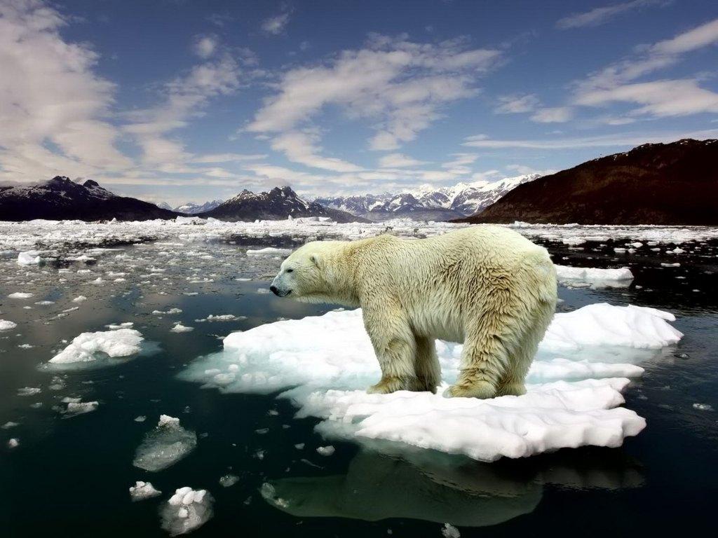 006 - zvířata - lední - polární medvěd