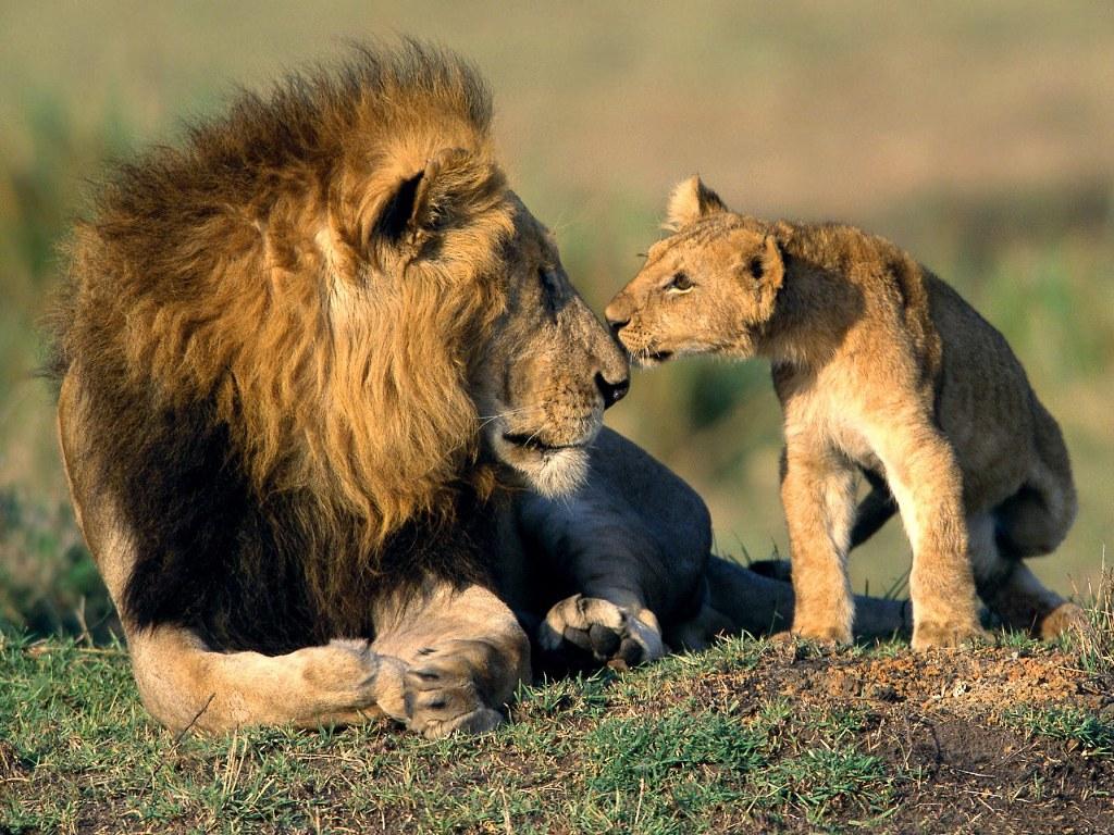 006 zvířata - lev - lvíče