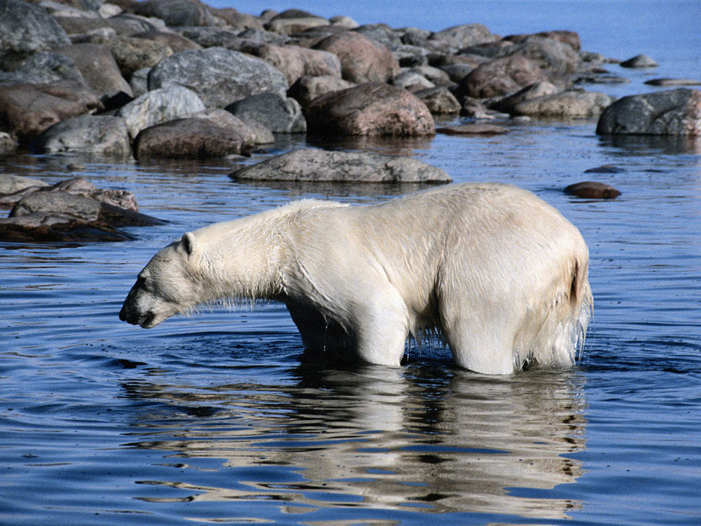007 - zvířata - lední - polární medvěd