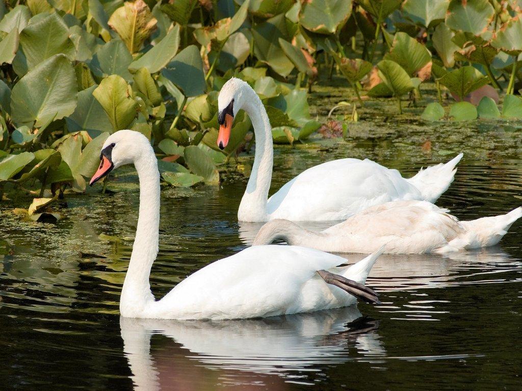 007 ptáci - labutě - birds - swans