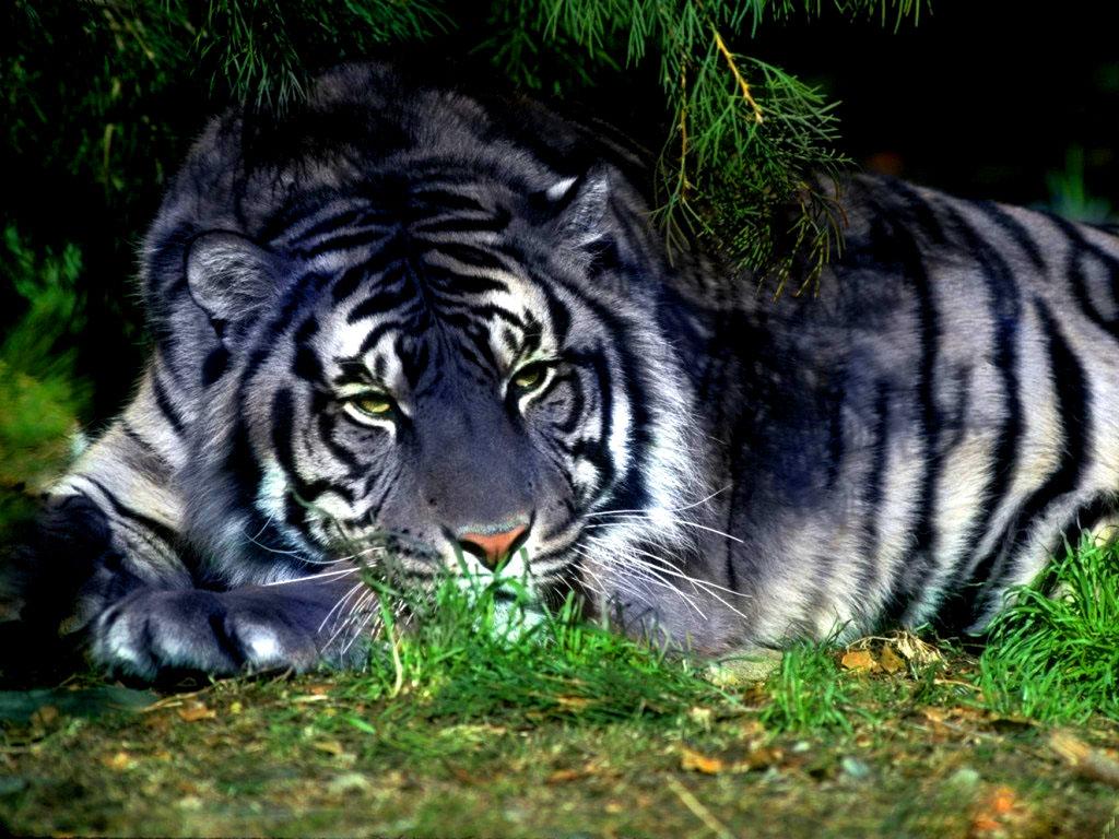 007 zvířata - tygr maltský