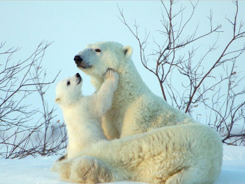008 - zvířata - lední - polární medvěd