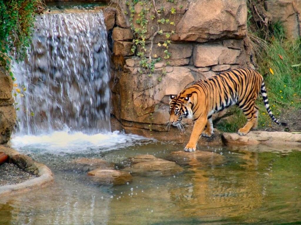 008 zvířata - tygr