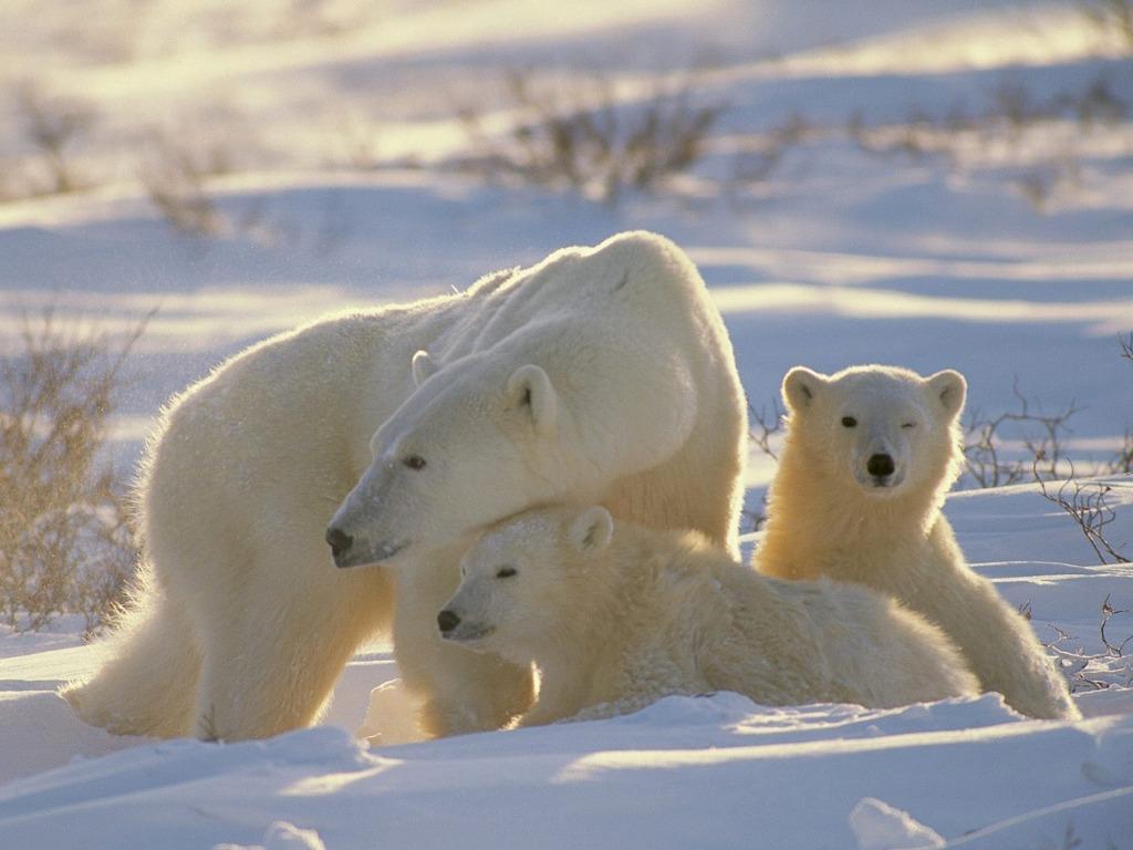 009 - zvířata - lední - polární medvěd