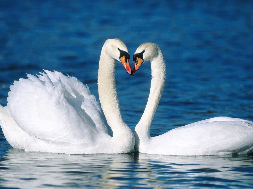 009 ptáci - labutě - birds - swans
