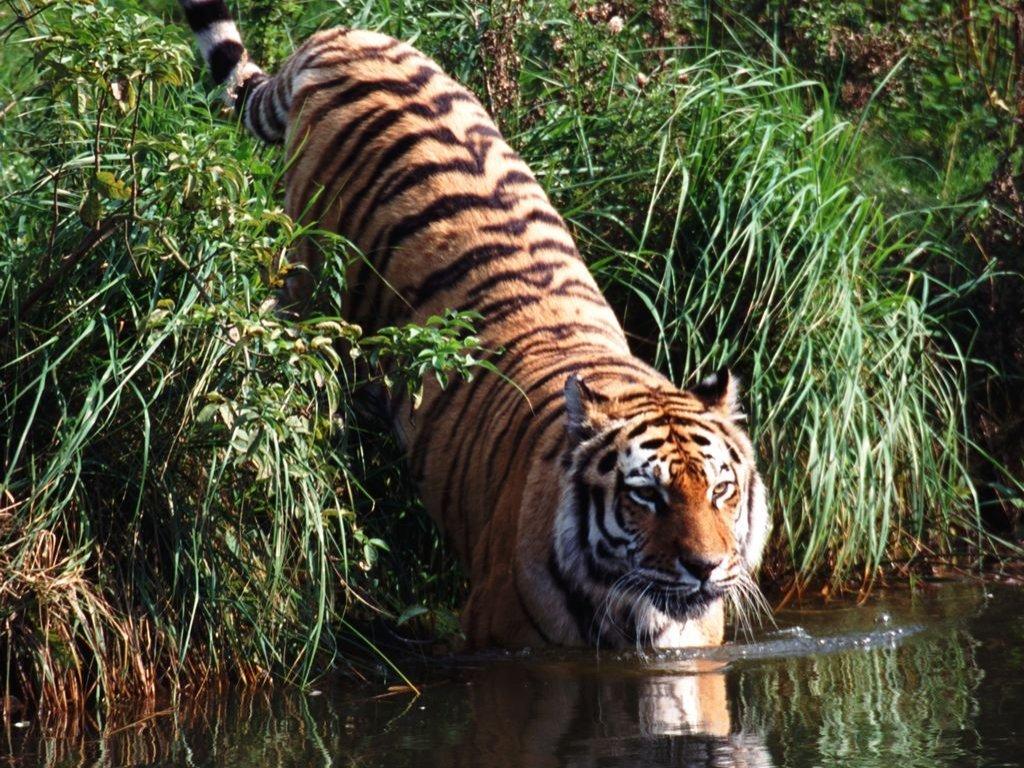 009 zvířata - tygr