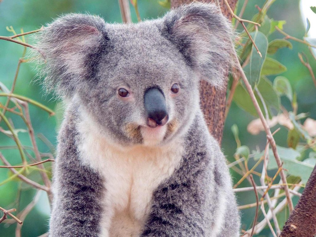 010 - zvířata - medvídek koala