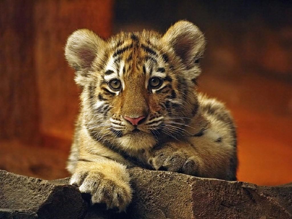 010 zvířata - tygří mládě