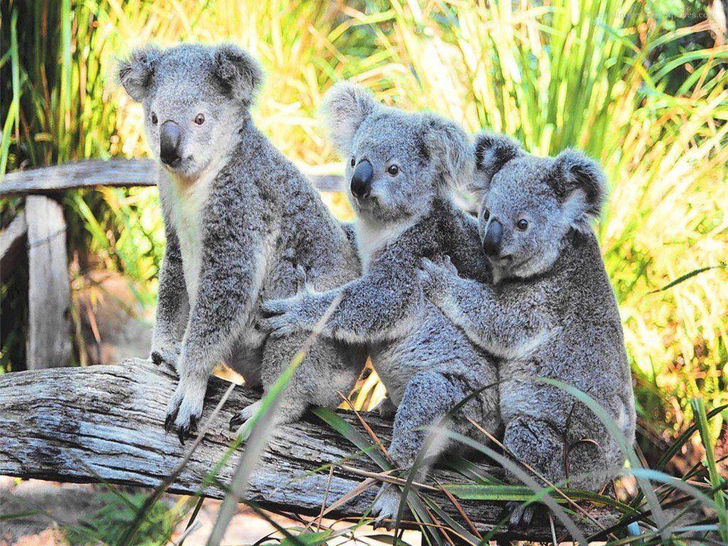 011 - zvířata - medvídek koala