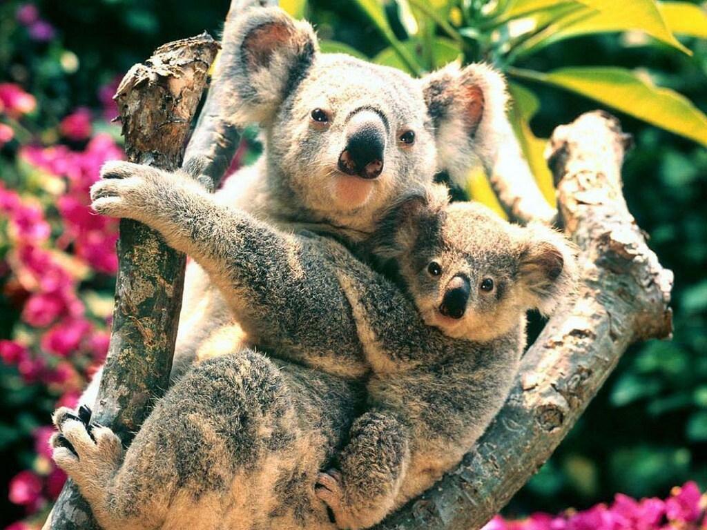 012 - zvířata - medvídek koala