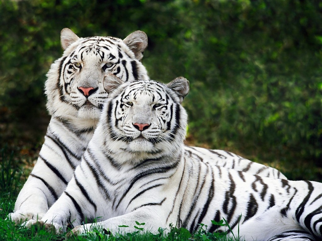 012 zvířata - tygr bengálský