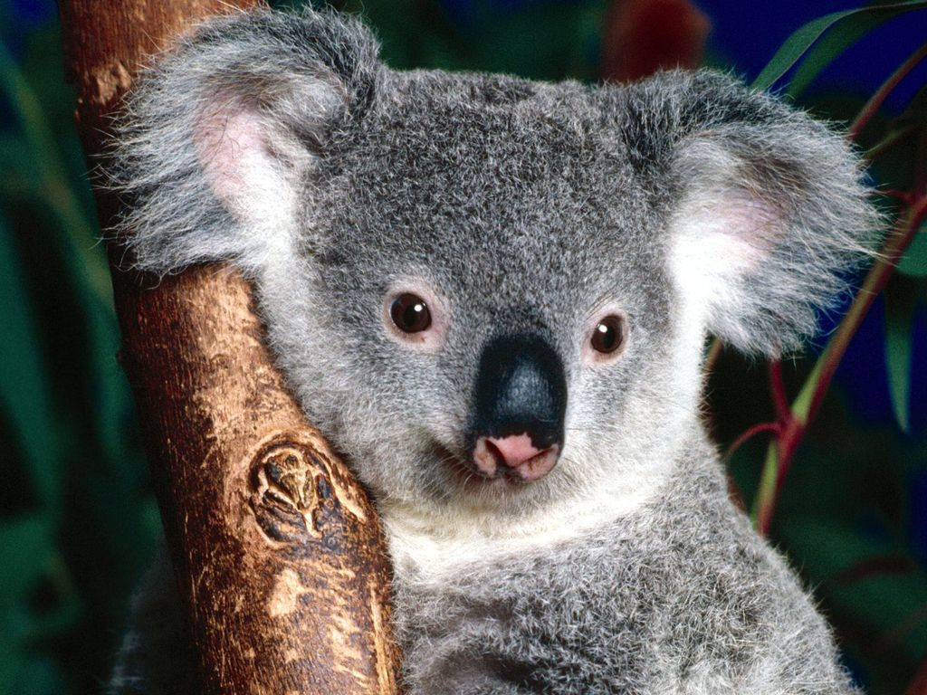 013 - zvířata - medvídek koala