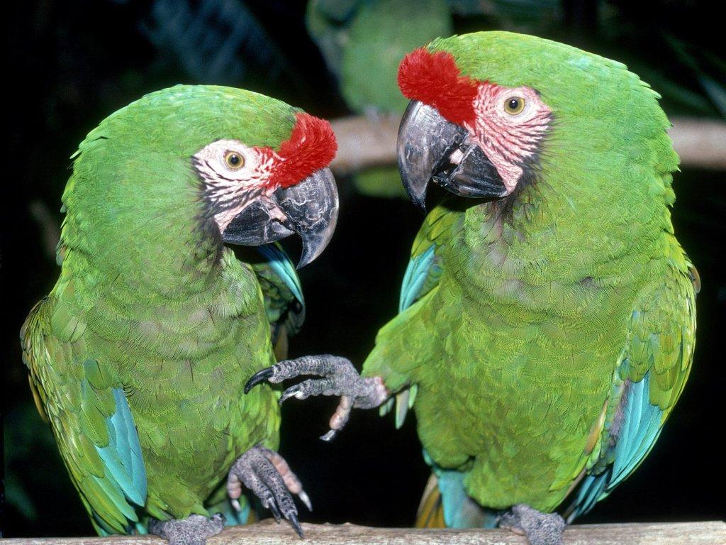 013 ptáci - papoušci - birds - parrots