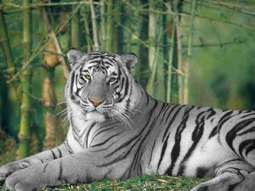 013 zvířata - tygr bílý