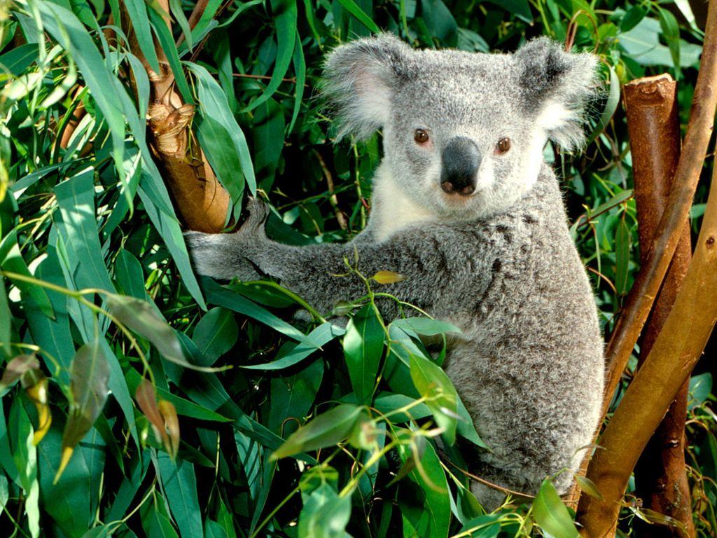 014 - zvířata - medvídek koala