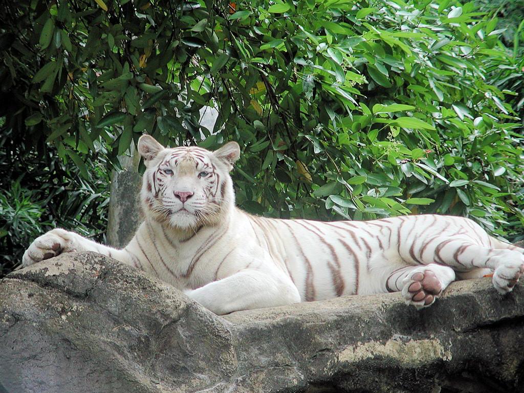 014 zvířata - tygr bílý