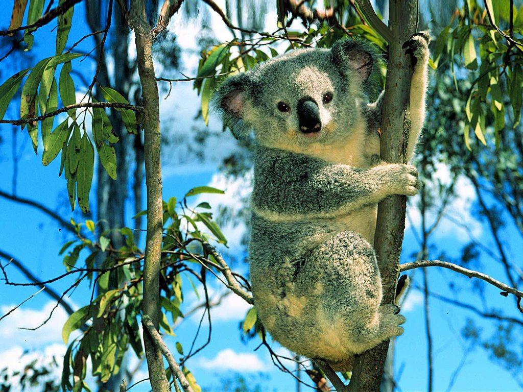 015 - zvířata - medvídek koala