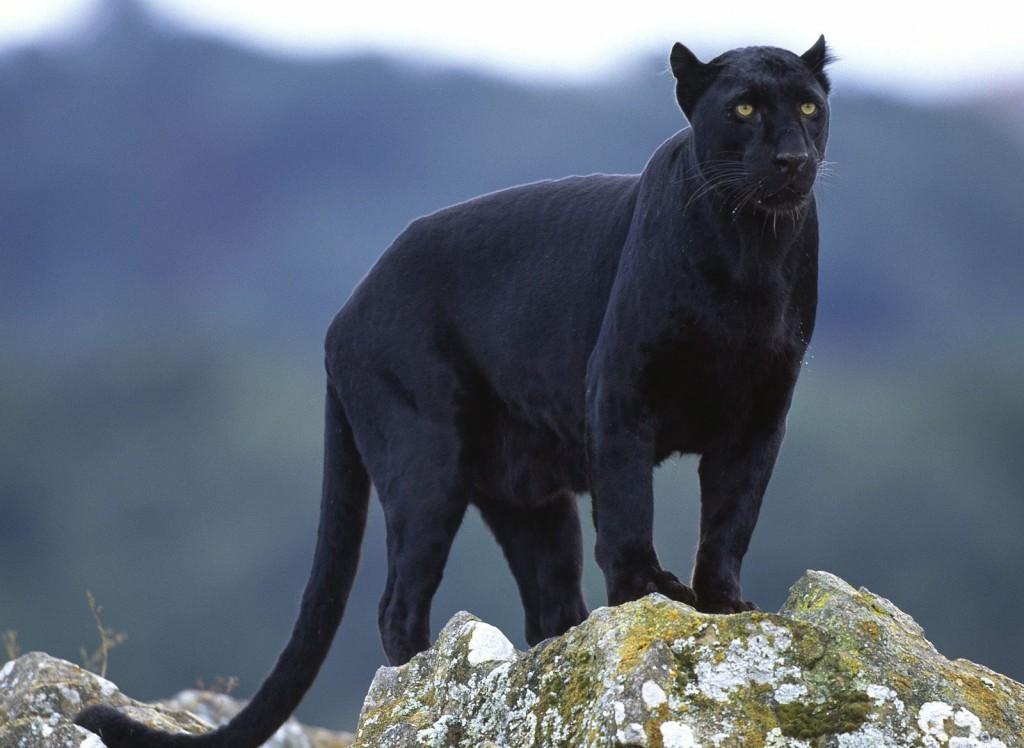 015 zvířata - jaguár černý