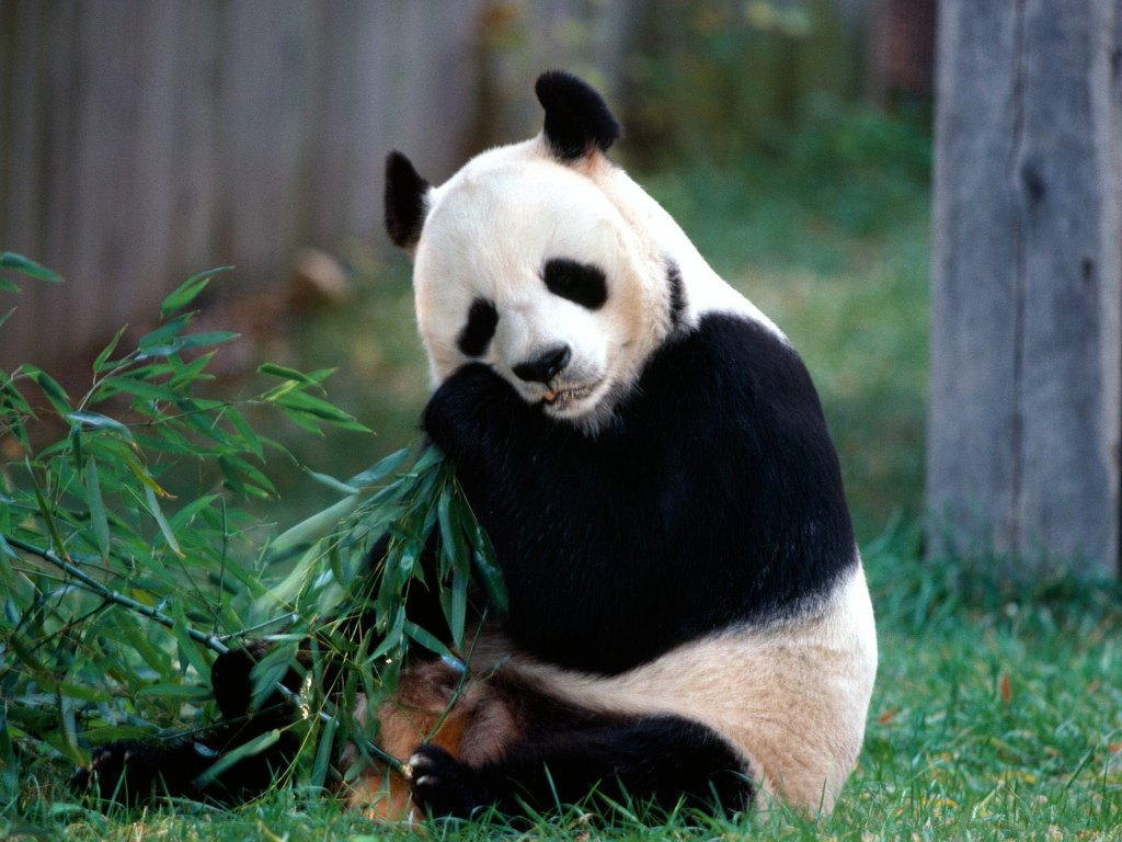 016 - zvířata - medvídek panda