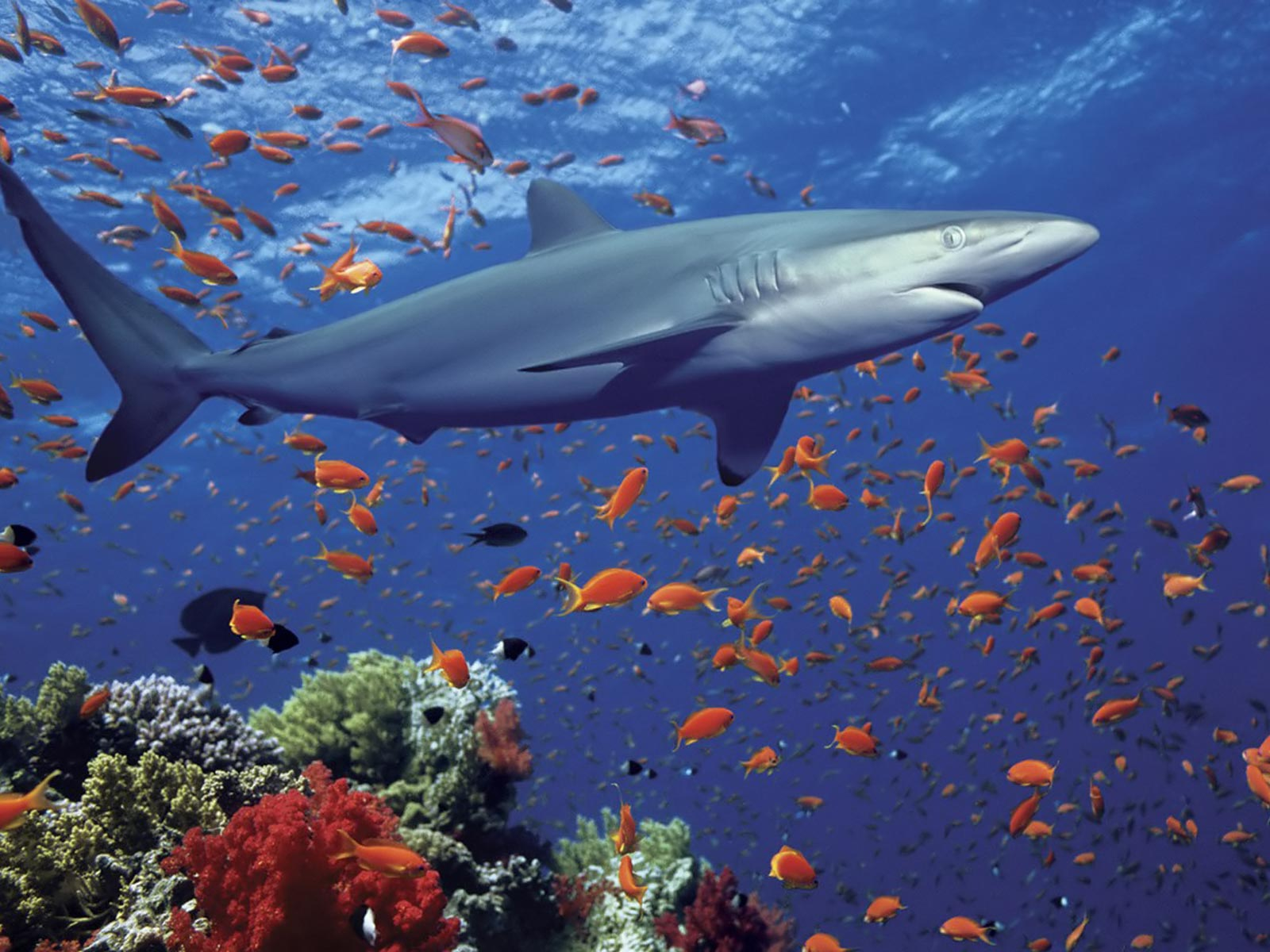 016 ryby - žralok