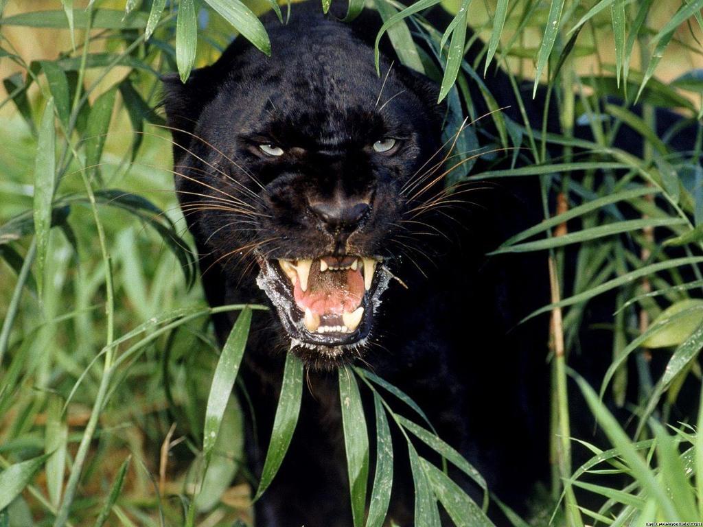 016 zvířata - jaguár černý
