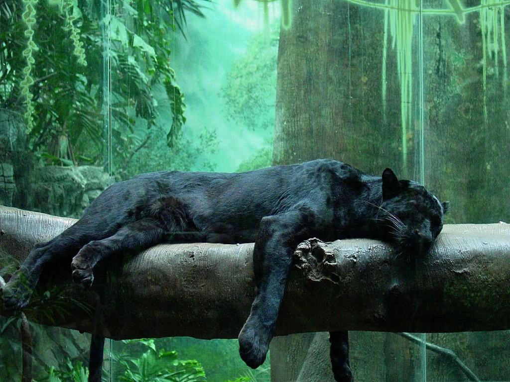 017 zvířata - jaguár černý