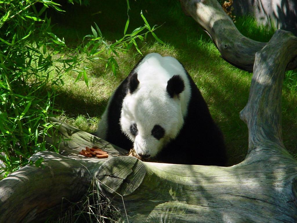 017 zvířata - medvídek panda