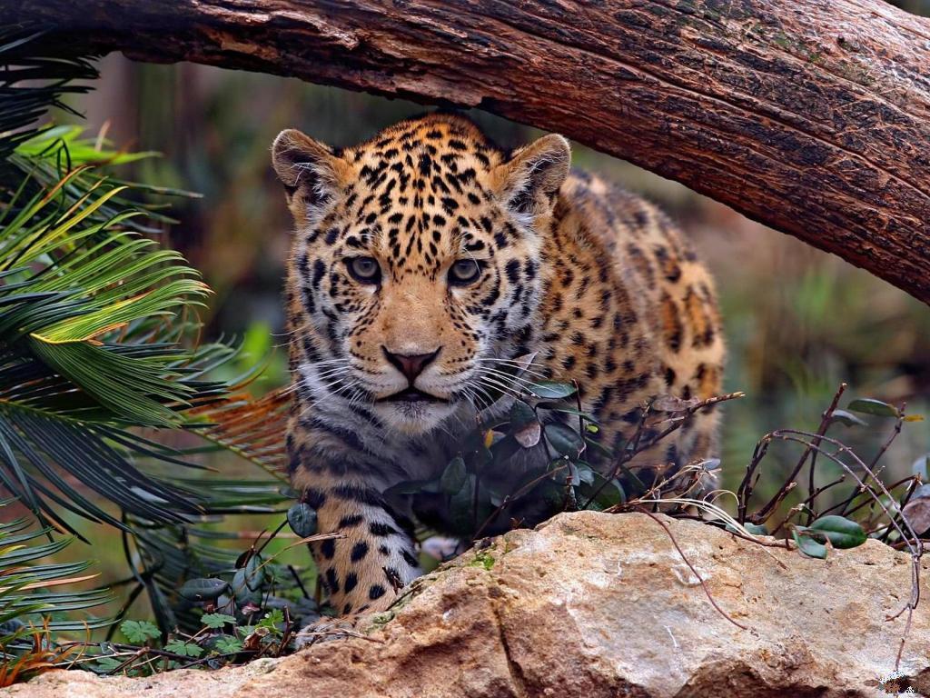 018 zvířata - jaguár mládě