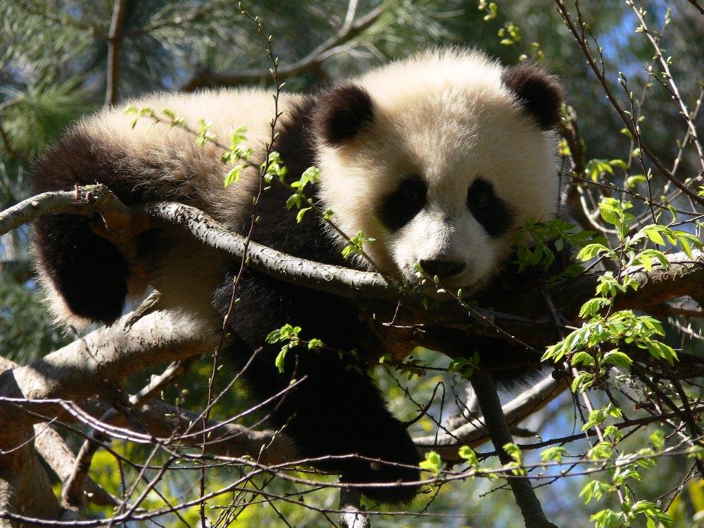 018 zvířata - medvídek panda