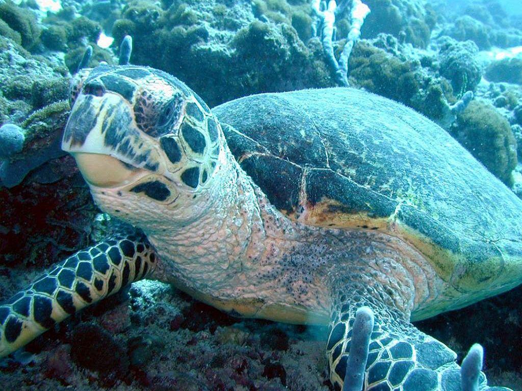 019 ryby - mořská želva