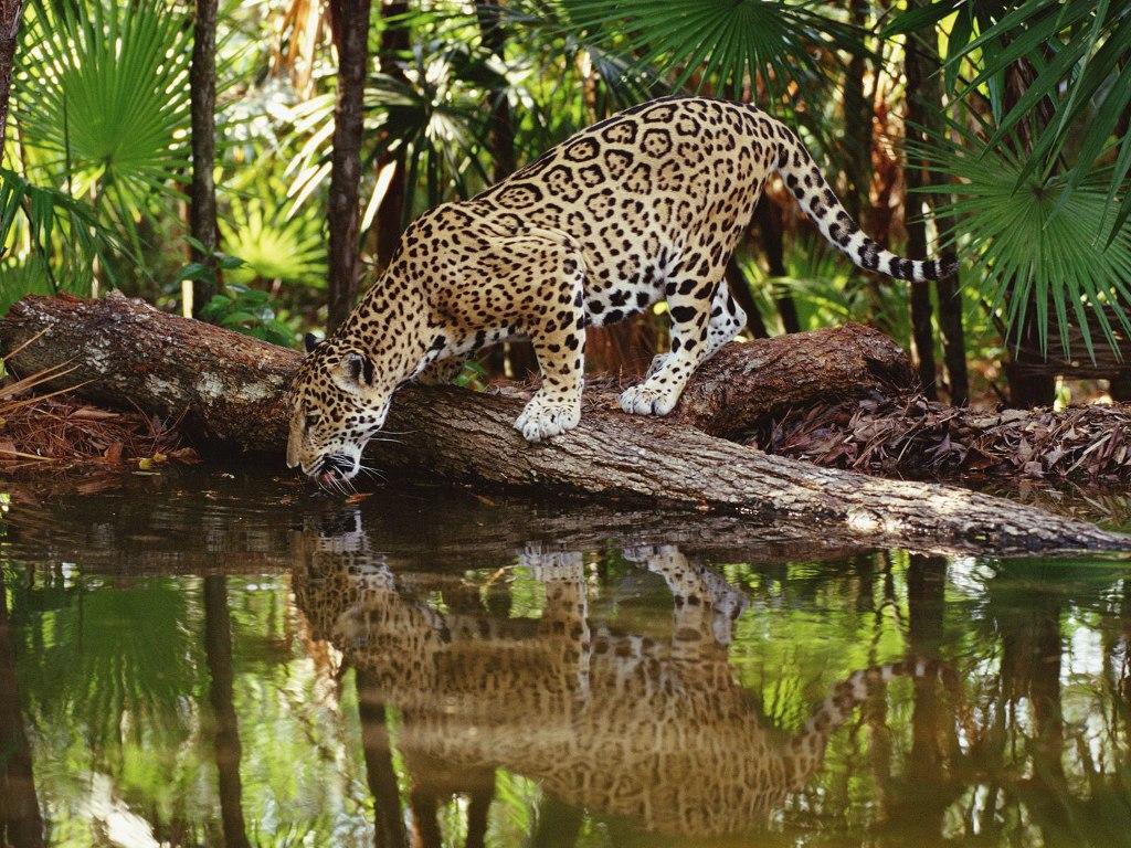 019 zvířata - jaguár