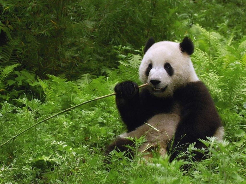019 zvířata - medvídek panda