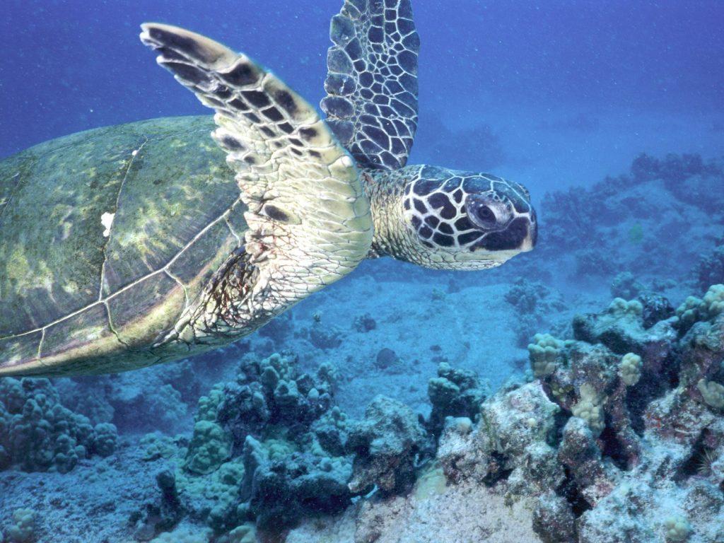 020 ryby - mořská želva