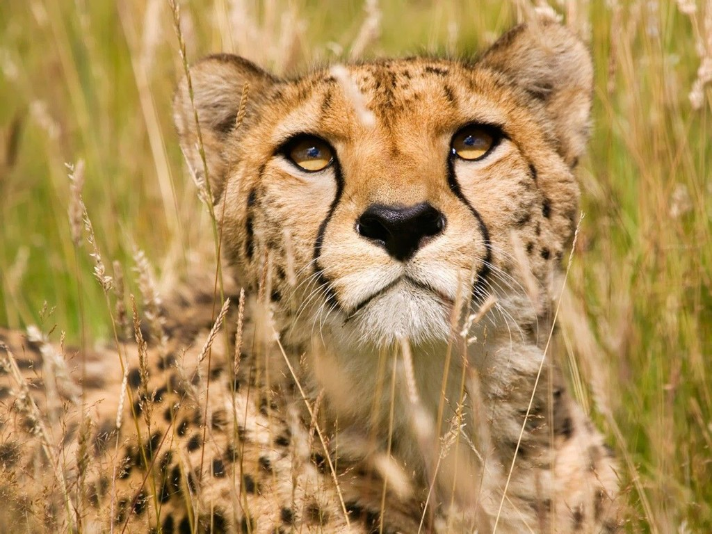 020 zvířata - gepard